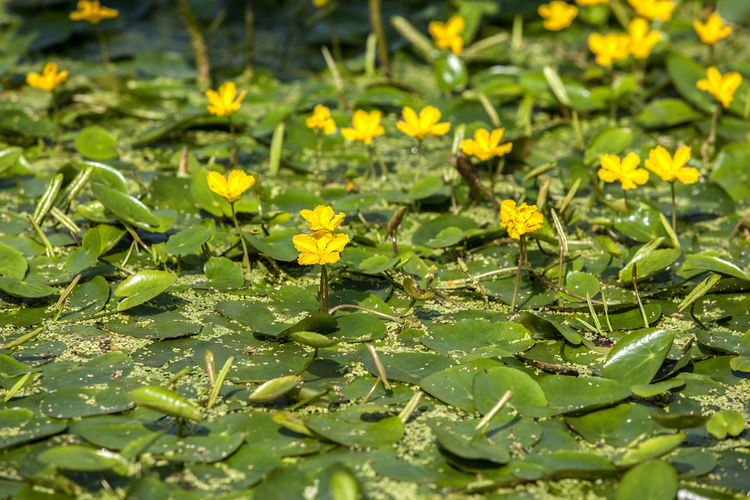 High angle view of yellow flowers amidst green leaves