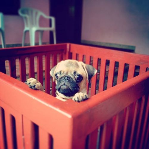 Jainy Palace Pug Puppy Morning Ck