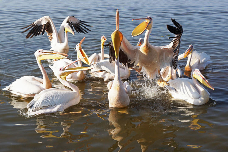 Great White Pelicans on Lake Awassa, Ethiopia, Africa Africa Animal Animal Themes Animal Wildlife Awassa Bird Ethiopia Fauna Great Rift Valley Great White Pelican Lake Lake Awassa Nature Nature Outdoors Pelecanus Onocrotalus Pelican Togetherness Travel Travel Destinations Water Wildlife
