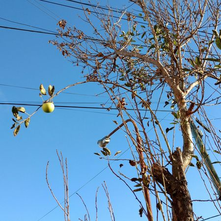 Tree Blue Branch Clear Sky Nature Low Angle View No People Sky Outdoors Day Beauty In Nature Apple - Fruit Apple Fruit Apple Green Apple Green One Apple Only One Apple