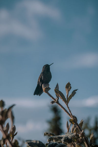A lonely Hummingbird. Nature Outdoors Travel Destinations Explore Discover  Adventure Tungurahua Hiking South America Latin America Remote Non-urban Scene Animals In The Wild Animal Wildlife Bird Animal Animal Themes One Animal No People Focus On Foreground Hummingbird Plant Sky Beauty In Nature Perching