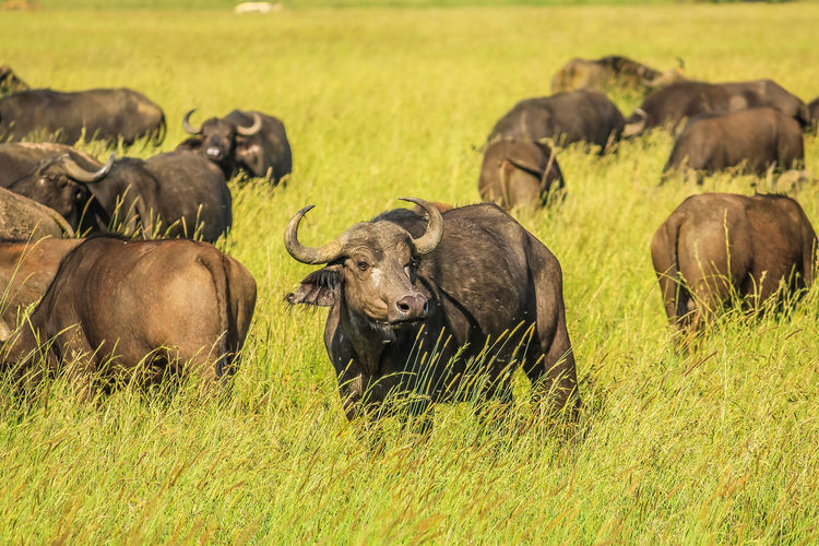 Water Buffaloes Standing On Grassy Field