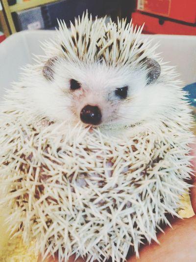 """애완동물 고슴도치 """"꼬"""" Animals Hedgehog"""