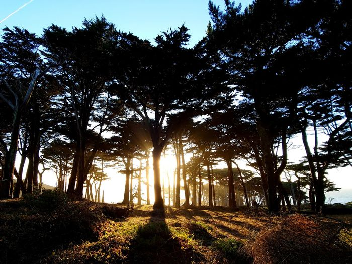 sunset silhouettes of cypress trees etch memories into my mind San Francisco California Coastal Landscape Sunset Tranquility Peaceful New Experiences Vacationing Travel Silhouette Tree Tree Trunk Shadow Sunlight Sky Landscape Treelined Tree Canopy  Forest
