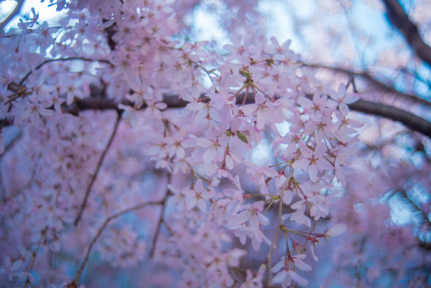 Beauty In Nature Cherry Blossom Flower No People Outdoors Springtime