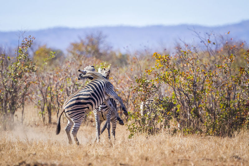 Zebras fighting on land