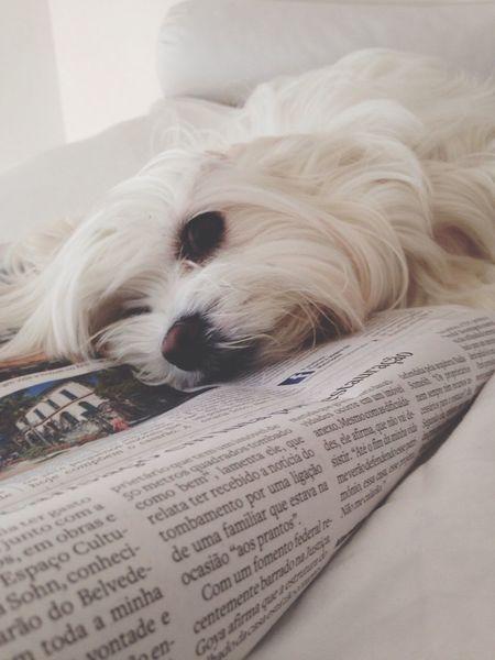 Boring news... Pets One Animal Domestic Animals Animal Themes Dog Maltese EyeEm Best Shots