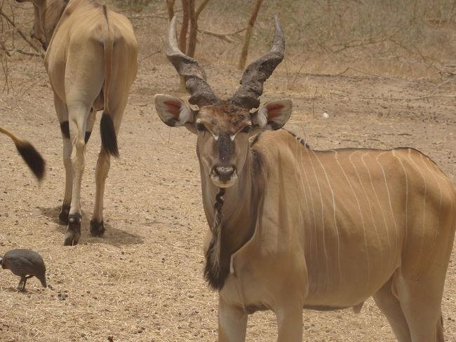 Bandia reserve African Safari Animal Themes Animals In The Wild Bandia Reserve Day Mammal Nature No People Outdoors Safari Safari Animals