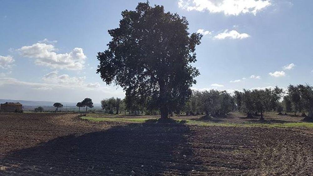 A big lone oak.. - una grande quercia solitaria.. Oak Bigoak Countryside Campagnapugliese Campagnafoggiana Provinciadifoggia Italy Puglia Apúlia Volgofoggia Volgopuglia Thisispuglia Weareinpuglia Loves_puglia Lovespuglia Igpuglia Welovepuglia