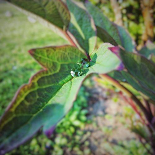eső után köpönyeg Spring Rain Raindrops Flower Leaf Photography Phone_o_grapher Phone Snapseed VSCO