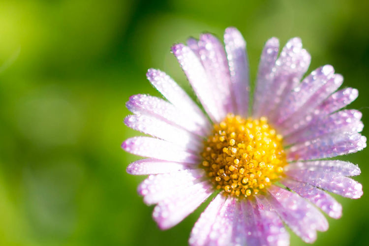 Beauty In Nature Close-up Day Dew Flower Flower Head Fragility Freshness Growth Nature No People Outdoors Petal Plant Pollen 源平小菊