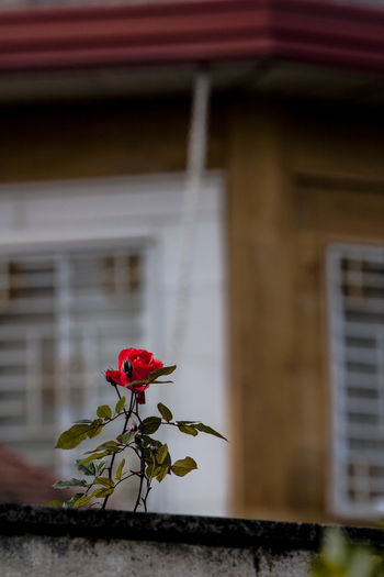 Flower Flowering Plant Plant Building Exterior Architecture Built Structure Building Beauty In Nature Fragility Freshness Red Growth No People Focus On Foreground Close-up House Residential District Rosé Flower Head Outdoors Iran Mazandaran Iran Ramsar Canon20d Autumn