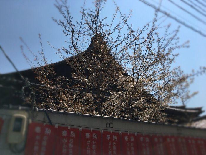 Kyoto,japan Kyoto Spling Kyoto City Kyoto Temple Cherry Blossoms Kyoto Sakura Kyoto Sakura 2017 Kyoto Sakura Sky Sakura