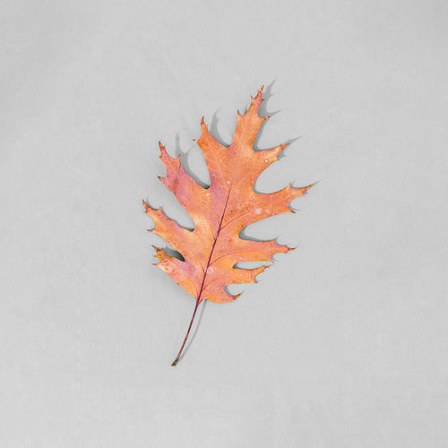 High angle view of maple leaf on white wall
