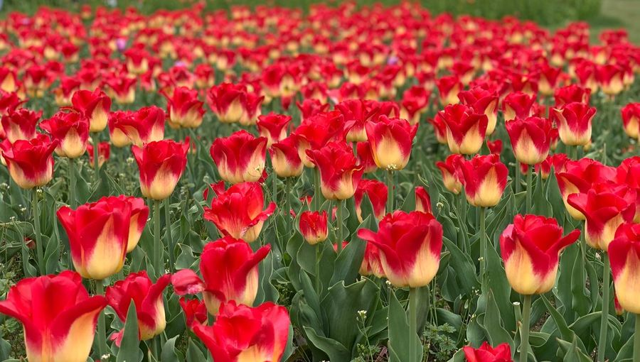 Tulips from tulips festival Flowering Plant Flower Plant Red Freshness Beauty In Nature Vulnerability  Fragility Growth Flower Head Inflorescence Abundance Springtime Nature Close-up Petal Pink Color