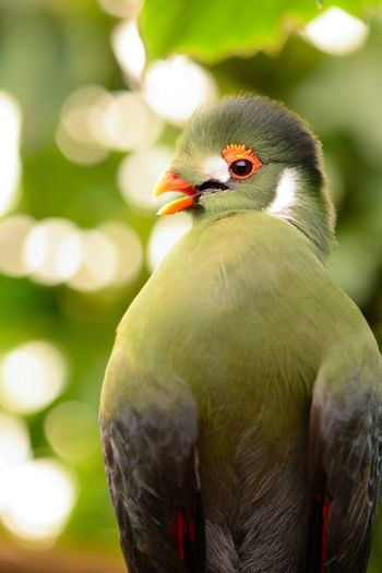 Animals In The Wild Bird Photography Check This Out EyeEm Best Shots EyeEm Nature Lover Green Color Nature Taking Photos Turaco Animal Animal Themes Animal Wildlife Beauty In Nature Bird Birds Bokeh Close-up Day Focus On Foreground Nature_collection No People One Animal Outdoors Portrait Selective Focus