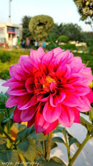 Showcase March Flower Pink So Love Steadyshot College Days