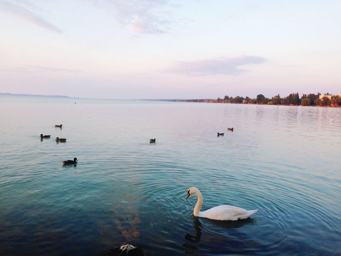 Swans and ducks swimming in lake against sky