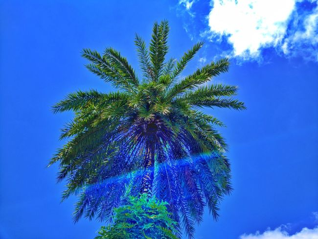 Intense Sunshine of Summer Date Palm Tree Date Palm DatePalm Date Palms Sun Sunlight Sunshine Sunny Sunny Day Sunrays Sun Light Sun Light Through Trees Sun Lights Sunshine ☀ Sun Rays Glare Sun Glare Sun Glare And Plant Sun Rays Penetrating Sun Rays Through Trees Sun Rays ☀️🌹 Summer Road Tripping Tree Palm Tree Blue Branch Sky Cloud - Sky Green Color Shining