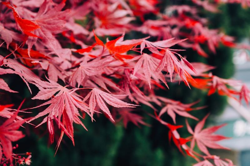 Plant Part Leaf Red Autumn Beauty In Nature Plant Change Close-up Growth Day Vulnerability  Leaves Outdoors Maple Tree Focus On Foreground Fragility Nature Maple Leaf No People Tree