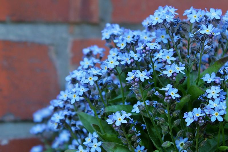 Beauty In Nature Urban Nature Tiny Flowers Brick Wall Purple Flowers Wildflowers Taking A Closer Look In Bloom Lovely Garden Photography Flowers, Nature And Beauty Purple Flower Purple Beautiful Nature Wild Flowers Flowers Small Flowers Closer Look Colorful Rustic Urban Spring Fever Flower Collection Brickwall Colour Of Life