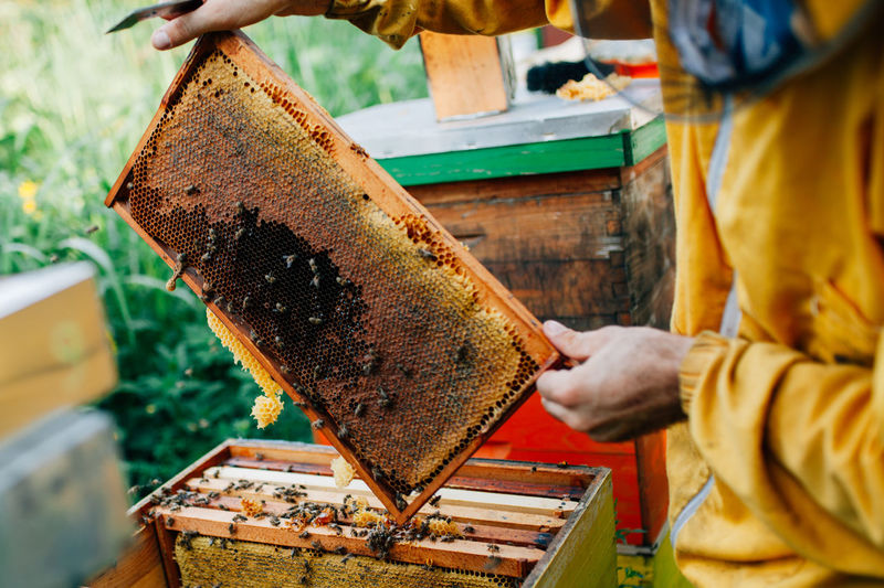 Working in apiary surrounded with sunflower field and nature Frame Honey Bee Honey Comb Hiver Apiary APIculture Beekeeping Apiarist Work Nature Sunflower Garden Forest Healthy Eating Health And Medicine Golden Hour Food Pollen Farmer Agriculture VSCO Field Light Freedom Worker