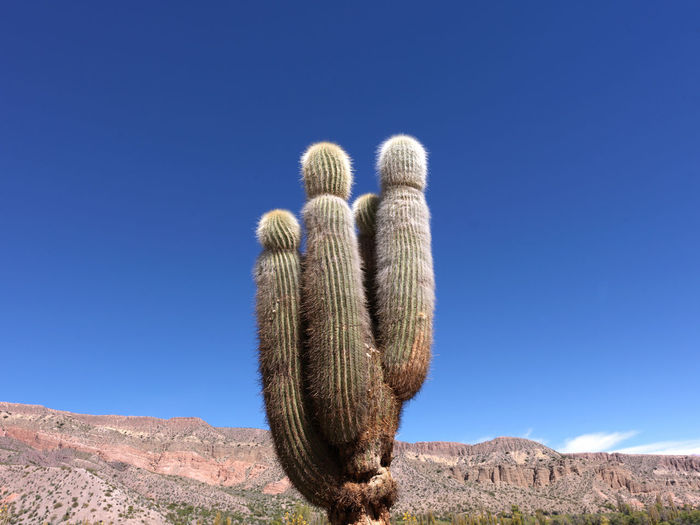 Cactus in the highlands of the andes, arid desert