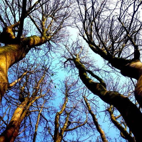 Sycamore Treetops Awesome Trees Energy Love My Trees Garden Circle Of Trunks