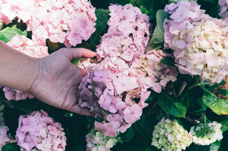 Close-Up Of Hand Holding Pink Hydrangeas Outdoors