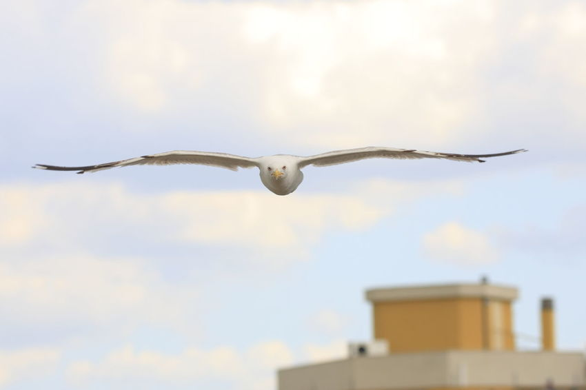 Adapted To The City Seagull Flying Over The City Staring At Me Bird Animals Spread Wings One Animal Nature Close-up Animal Themes Flying Bird Flying High Fly Flying In The Sky Approaching Fast Angry Angry Birds Attacking Its Prey Head Towards Stare At Aim For Aim High
