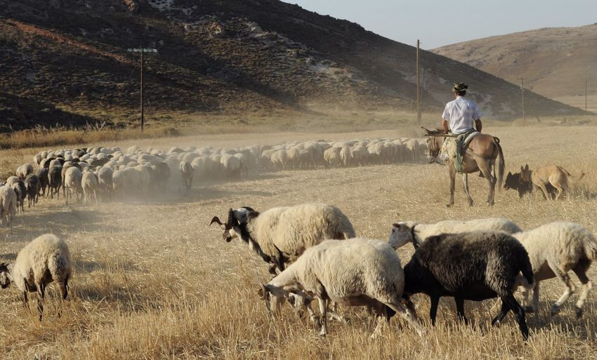 Beauty In Nature Domestic Animals Flock Of Sheep Horse Riding Landscape Limnos Sheep Shepherd The KIOMI Collection