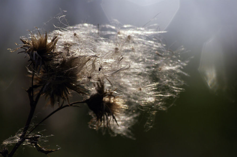 Back Lit Beauty In Nature Close-up Day Flower Head Fragility Growth Nature No People Outdoors Plant Seedhead Transient Perspectives On Nature