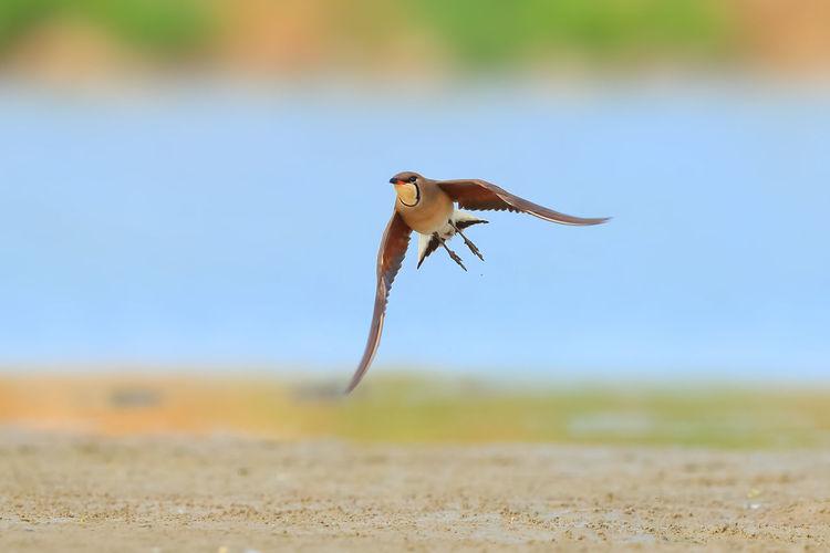 【神奇的高邮湖】燕鸻 Bird