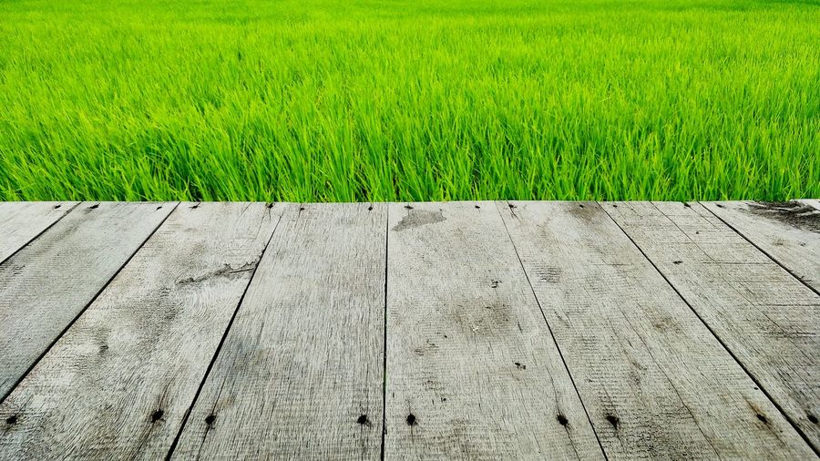 Paddy rice view