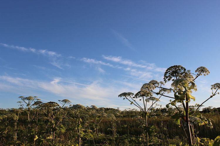 Water hemlocks growing on field against blue sky