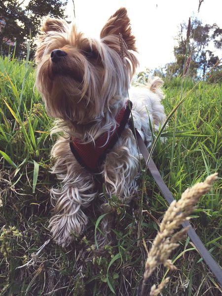 Dog❤ 🌾 Nature Blond Hair Grass Outdoors Day Friendship Yorkie Thebestfriend