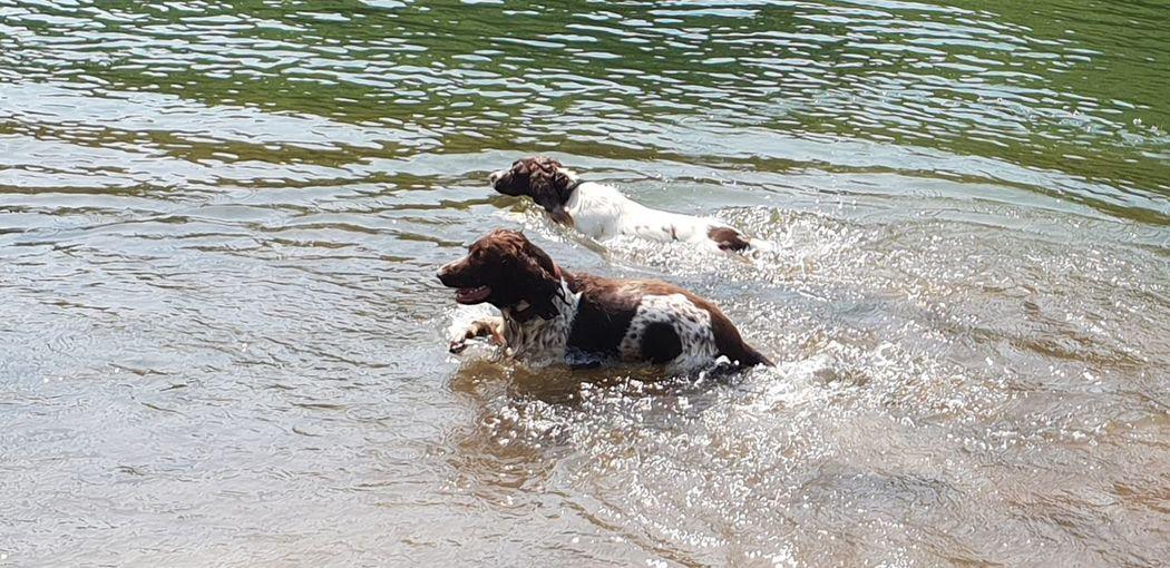 swimming dogs Swimming Summertime walking Summer Views EyeEm Nature Lover Eye4photography  EyeEm Swimming Summertime Walking Swimming Animal Dogs Of EyeEm Dog Spaniel Two Animals