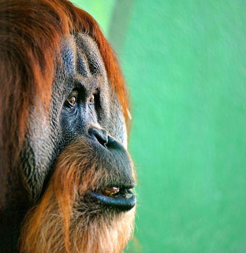 Close-up of monkey orang utan