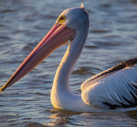 Close-up of pelican swimming in ocean