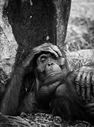 sad achimpanzee Portraits Animal Wildlife Animals In The Wild Ape Chimpanzee Day Face Gorilla Hand Lie Mammal Monkey Nature No People One Animal Portrait Sadness Tree Trunk