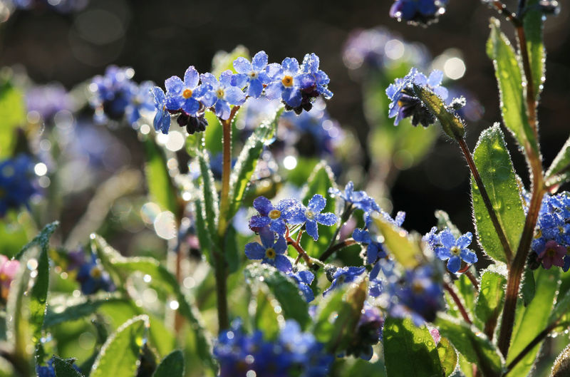 Many forget-me-not flowers in the garden after a rain Backlight Flower Bed Myosotis Rain Raindrops Beauty In Nature Close-up Flower Flower Head Flowering Plant Forget Me Not Forget-me-not Garden Growth Leaf Many Nature Petal Plant Seaon Sunlight Water Drop Wet