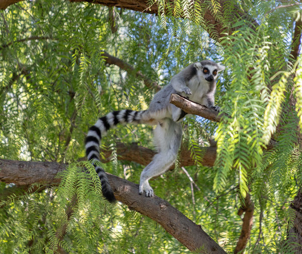 Ring tailed lemur Tree Animal Plant Animal Themes Mammal Animal Wildlife Animals In The Wild One Animal Branch Primate Lemur Vertebrate No People Nature Day Forest Monkey Outdoors Tail Green Color