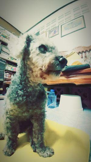 my friend Dog Friend Old Dog Poodel Grey Black