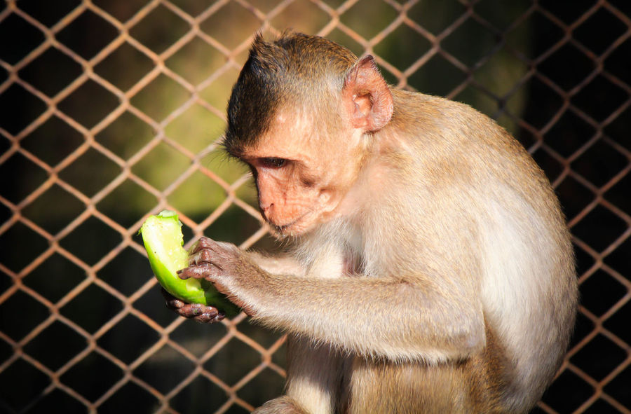 monkey Monkey Zoo Infant Orangutan Meerkat Fence Gorilla Captivity Nebraska Chimpanzee Primate Wire Mesh Chainlink Barbed Wire Lemur