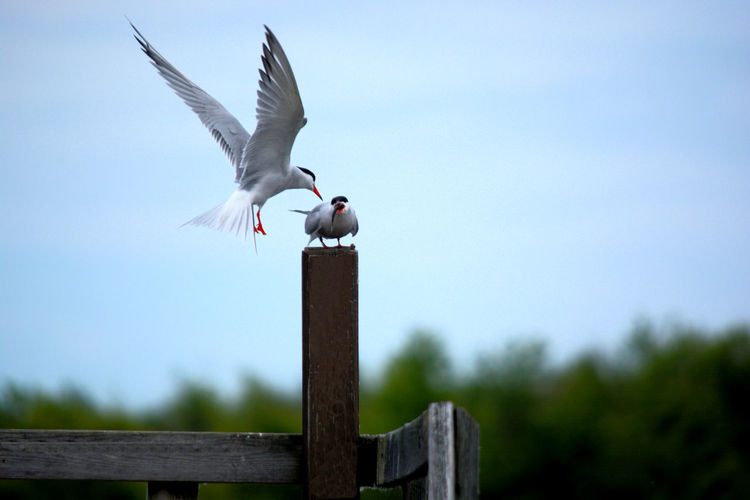 Feeding the baby ☺ Tern Terns Bird Spread Wings Flying Bird Of Prey Confined Space Wooden Post Sky Animal Wing Stork Damselfly Flapping Animal Nest Animal Antenna Ibis Freshwater Bird