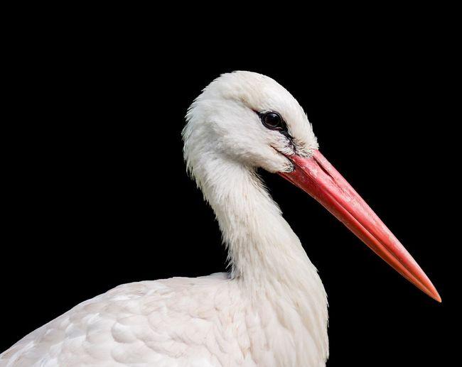 Close-up of stork against black background