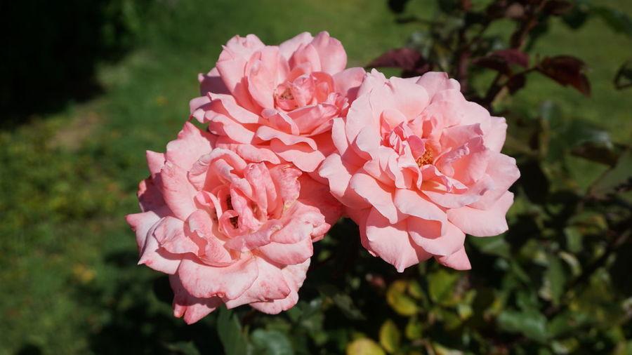 Rose - Flower Flower Head Flower Pink Color Petal Rose - Flower Red Leaf Close-up Plant Plant Life Botany Wild Rose