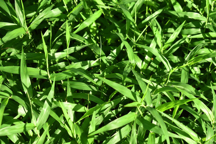 Green Color Plant Plant Part Leaf Growth Full Frame Nature Close-up Backgrounds No People Beauty In Nature Day Grass Field Tranquility Outdoors Land Freshness Foliage Lush Foliage Herb Blade Of Grass Tea Leaves Dew