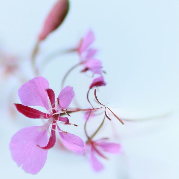 Little pink flower EyeEm Selects Flowering Plant Flower Beauty In Nature Plant Pink Color Fragility Vulnerability  Close-up Flower Head Nature No People Pollen Selective Focus Focus On Foreground White Background Inflorescence