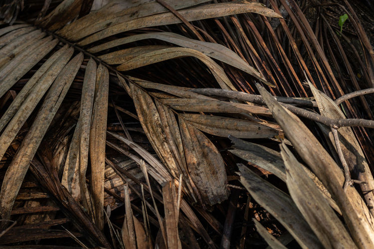 Palm leaf dry and dead Palm Backgrounds Beauty In Nature Brown Close-up Day Dead Dry Full Frame Growth Leaf Leaves Nature No People Outdoors Palm Leaf Palm Tree Pattern Plant Plant Part Textured  Tree Wood - Material